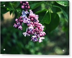 Lilac Acrylic Print by Cathie Tyler