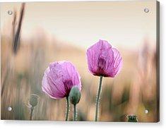 Lilac Poppy Flowers Acrylic Print