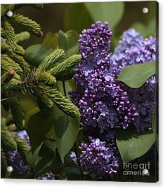 Lilacs In Bloom Acrylic Print by Marjorie Imbeau