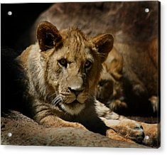 Lion Cub Acrylic Print by Anthony Jones