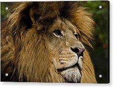 Lion Gaze Acrylic Print