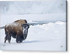 Acrylic Print featuring the photograph Lone Bison by Gary Lengyel