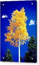 Lone Golden Aspen Acrylic Print