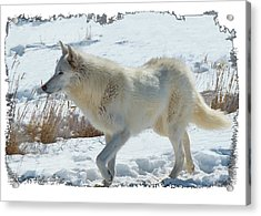 Lone White Wolf Acrylic Print