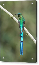 Long-tailed Sylph In Ecuador Acrylic Print by Juan Carlos Vindas