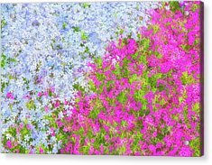 Pink And Purple Phlox Acrylic Print by Andrea Kappler