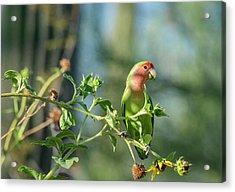 Lovely Little Lovebird  Acrylic Print by Saija Lehtonen