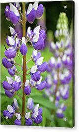 Acrylic Print featuring the photograph Lupine Blossom by Robert Clifford