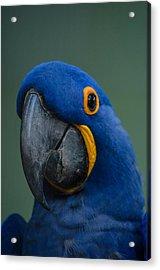 Macaw Acrylic Print by Daniel Precht