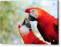 Macaws Acrylic Print by Steven Sparks