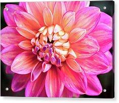 Magenta Dahlia Acrylic Print
