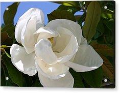 Magnolia Acrylic Print by Ofelia  Arreola