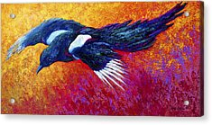 Magpie In Flight Acrylic Print by Marion Rose