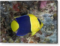 Malaysia Marine Life Acrylic Print by Dave Fleetham - Printscapes