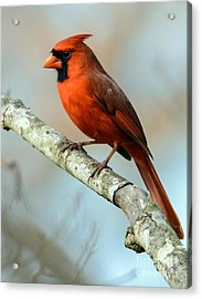 Male Cardinal Acrylic Print by Debbie Green