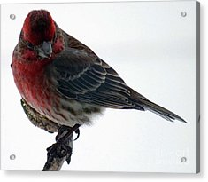 Male House Finch Acrylic Print by Cindy Treger