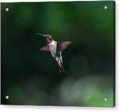 Male Ruby Throated Hummingbird Acrylic Print by Brenda Jacobs