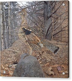 Male Ruffed Grouse In The Forest Acrylic Print by Gerald Thayer