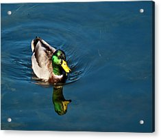 Mallard Acrylic Print by Bill Barber