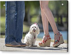 Maltese In The Middle Acrylic Print by Andrea Auletta