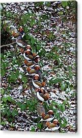 Mandarin Ducks Acrylic Print