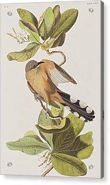 Mangrove Cuckoo Acrylic Print