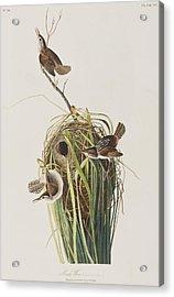 Marsh Wren  Acrylic Print by John James Audubon