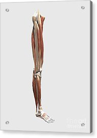 Medical Illustration Of Human Leg Acrylic Print by Stocktrek Images