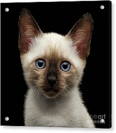 Mekong Bobtail Kitty With Blue Eyes On Isolated Black Background Acrylic Print