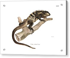 Acrylic Print featuring the drawing Mexican Spiny-tailed Iguana, Ctenosaura Pectinata by Elsasser