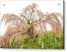 Miharu Takizakura Weeping Cherry02 Acrylic Print