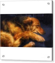 Miss Hannah #dogs #gsd #germanshepherd Acrylic Print