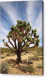 Mojave Sentinel Acrylic Print by Robin Street-Morris