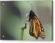 Monarch Butterfly Stony Brook New York Acrylic Print by Bob Savage