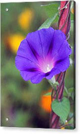 Acrylic Print featuring the photograph Morning Glory by Vadim Levin