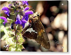 Moth On Purple Flower Acrylic Print
