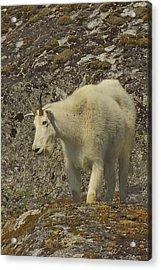 Mountain Goat Ewe Acrylic Print