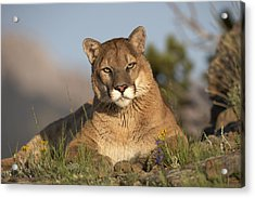 Acrylic Print featuring the photograph Mountain Lion Portrait North America by Tim Fitzharris