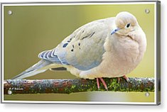 Mourning Dove On Tree Branch Acrylic Print