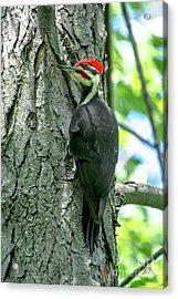 Mr. Pileated Woodpecker Acrylic Print