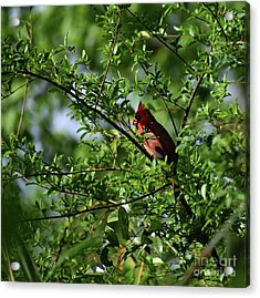 Acrylic Print featuring the photograph Mr Red by Skip Willits