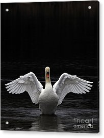 Mute Swan Stretching It's Wings Acrylic Print by Urban Shooters