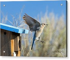 Nest Builder Acrylic Print by Mike Dawson