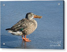Northern Shoveler Duck Hen Acrylic Print by Merrimon Crawford