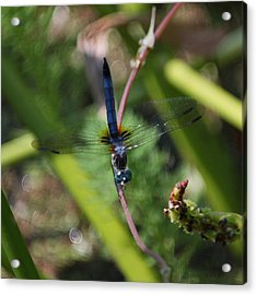 Old Blue Eyes Acrylic Print by Suzanne Gaff