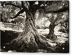 Old Olive Grove Acrylic Print