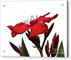 Acrylic Print featuring the photograph Oleander Blood-red Velvet 3 by Wilhelm Hufnagl