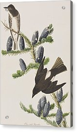 Olive Sided Flycatcher Acrylic Print by John James Audubon