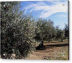 Olive Trees Acrylic Print by Judy Kirouac