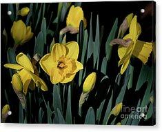 Camelot Daffodils Acrylic Print